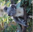 Syd_Koala